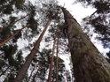 Uschlá borovice stojí a stěží by byla rozeznat za šera od živých.