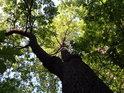 Pohled do koruny statného dubu.