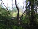 Křivého dříví v lese nejvíce… A dlužno doplnit i ležícího zde.
