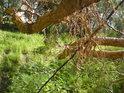 Po divoké vodě tu zůstaly vzdušné kořeny.
