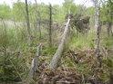 Borovice do tak mokrého prostředí nepatří, i když kolem jsou rozsáhlé bory, zde je trpí až příliš.