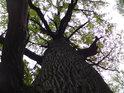 Pohled do koruny mohutného dubu, za povšimnutí stojí silná vodorovná větev nalevo.