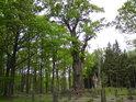Památný dub o obvodu kmene 8,90 m, jeden z největších v Čechách.