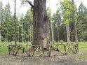 Kouzelný kruh kolem památného dubu tvoří ohrádka.