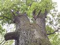 Pohled do koruny památného dubu.