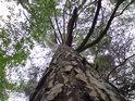 Koruna borovice zajisté není příliš tradiční.