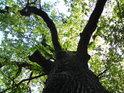 Pohleďme do koruny starého dubu na hrázi rybníka Prostřední Houkvice.