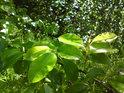 Po dešti a při Slunci mají listy barvu mnohem sytěji zelenou.