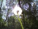 Pampeliška jako lampička při lesní cestě.