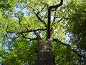 Krásná jarní zeleň v koruně dubu na hrázi rybníka Velká Houkvice.