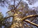 Nádherná borovice si drží barvu po celý rok.