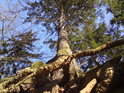 Pohled na smrk přes jeho vzdušné kořeny.