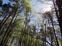 Úžasné jarní Slunce se zatím dostane až na nejspodnější lesní patro,listí však roste rychle a za několik dní bude padat na lesní zem především stín.