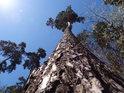 Pohled do koruny esíčkovitě prohnuté borovice je doprovázen prudkým jarním Sluncem.
