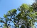 Koruny mladých modřínů oproti bledě modré obloze.