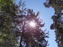 Slunce za mladou borovicí.