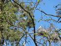 Na vrcholech borovic v Hranečníku hnízdí malá kolonie volavek a řvou tak silně, že spát tu, to by bylo jak v hororovém filmu, protože jejich skřek připomíná hejkala.