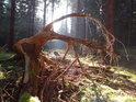Kouzelný smrkový kořen v jižní části chráněného území Hraniční louka.