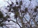 Jmelí tu napadá stromy v hojné míře.