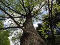Dub rostoucí v Hrobce.