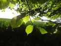 Sluncem osvětlené listy stromů na Hrubé louce.