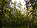 Slunečná lesní zeleň.