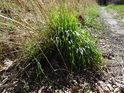 Generační obměna trsu trávy mezi pasekou a lesní cestou.