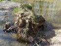 Tento pařez si přinesl potok Hvozdnice a jen co se zvedne jeho hladina, zase jej poodnese o kousek dál.