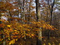 Uschlý buk je bezpečně poznat mezi podzimem zabarvenými listy.