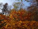 Okrooranžově zbarvené bukové listy.