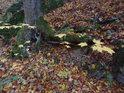 Kořen buku zpevňuje svah nad lesní cestou.