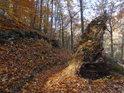 Bukový vývrat u lesní pěšiny.