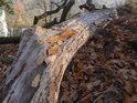 Uschlý a pokroucený bukový kmen nad skalní hranou.