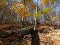 Padlý dub mezi buky vklíněný.