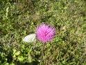 Některé květy trpí téměř přeobrazením, bělásek a čmelák se sem však vměstnají.