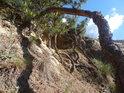 Vzdušný kořen borovice hází doslova zlověstný stín.