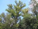 Topoly patří k původním polabským dřevinám.