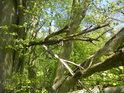Uschlé větve napadaly do živých stromů a poměrně dobře se zaklesly.