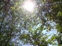 Slunce prosvěcuje přes habrové listí.