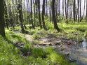 Tak vypadá prosluněný lužní les nedaleko řeky Moravy v době, kdy se ještě nerozvinuly listy habrů.