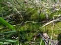 Mech je sytě zelený n rozdíl od loňské uschlé trávy.