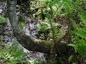 Bříza se tvarem kmenu přizpůsobuje klesajícímu svahu.