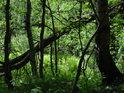 Jeden z kmenů byl větrem vhozen mezi ostatní stromy.