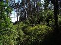Více pater borového lesa.
