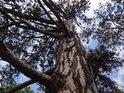 Borovice na kraji lesa má větve na otevřenou stranu podstatně rozvinutější.