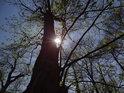 Slunce u kmenu kaštanu v době rozvíjejících se listů.