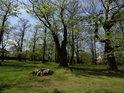Kaštany tu jsou nejen jako stromy, ale také pařezy po nich.