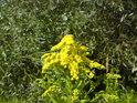 Všelikého žlutého kvítí tu je nejvíce.