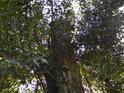 Pahýl topolu ještě obrůstá, ale takový už život bývá, nový strom z postranních větviček málokdy vyroste.