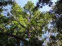 Pohledy do korun stromů bývají majestátné snad všude.
